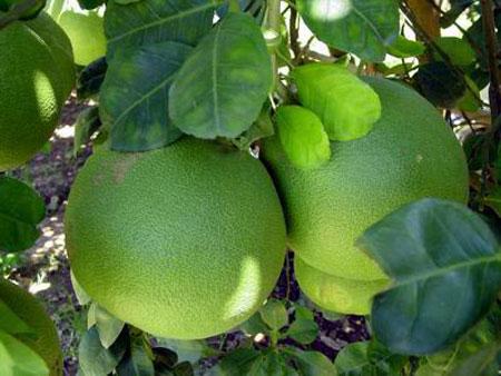trái cây có múi - quả bưởi non trị gan nhiễm mỡ